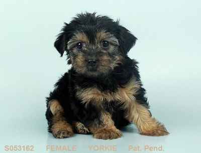 Yorkshire Terrier Puppies For Sale In Joplin Mo