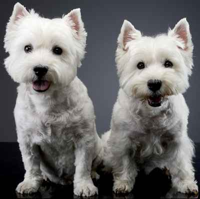 West Highland White Terrier Puppies for Sale in Joplin, MO