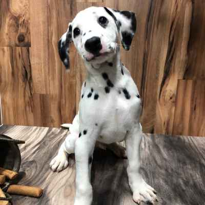 Dalmatian Puppies For Sale In Joplin Mo