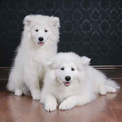 Samoyed Puppies for Sale in Joplin, MO