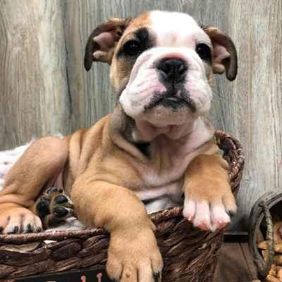 English Bulldog Puppies for Sale in Joplin, MO