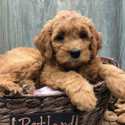 Mini Goldendoodle Puppies for Sale in Joplin, MO
