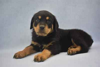 Rottweiler Puppies For Sale In Joplin Mo