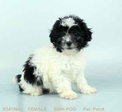 Shih Poo Puppies For Sale In Joplin Mo