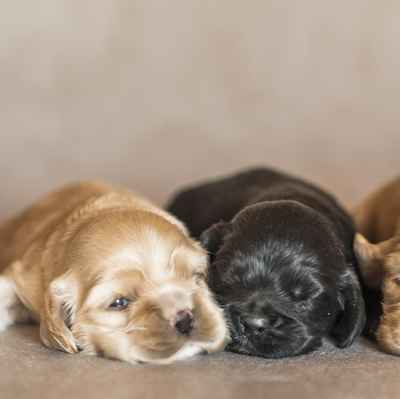 Cocker Spaniel Puppies For Sale In Joplin Mo