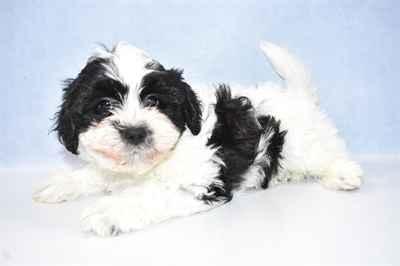 Teddy Bear Puppies for Sale in Joplin, MO
