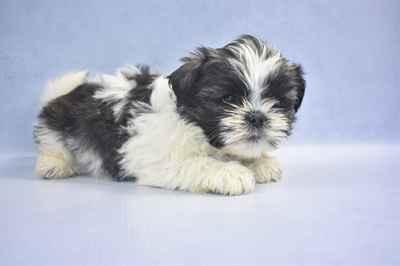 Shih Tzu Puppies For Sale In Joplin Mo