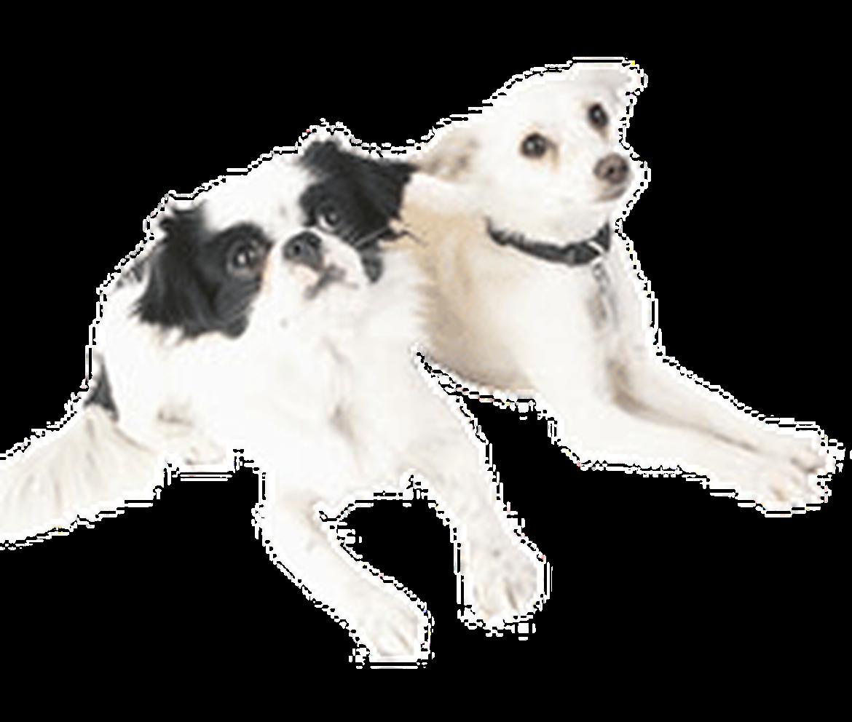 Petland Joplin Adopt-A-Pet dogs